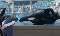 California Bans Orca Breeding and Performance (Video)