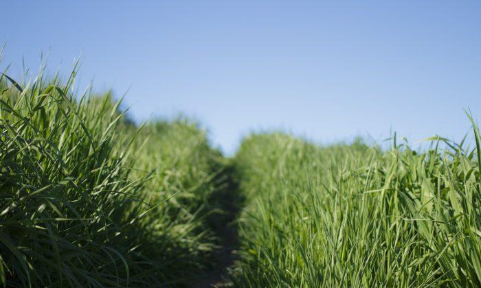 A stock photo of tall grass (Katya Austin/Unsplash)