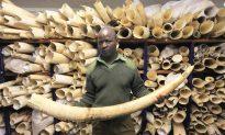 Global Efforts Against Ivory Traffickers Still Fall Short