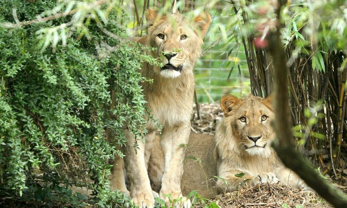 Lions Motshegetsi (L) and Majo at the zoo in Leipzig. eastern Germany, in this file photo. (Jan Woitas/dpa via AP)