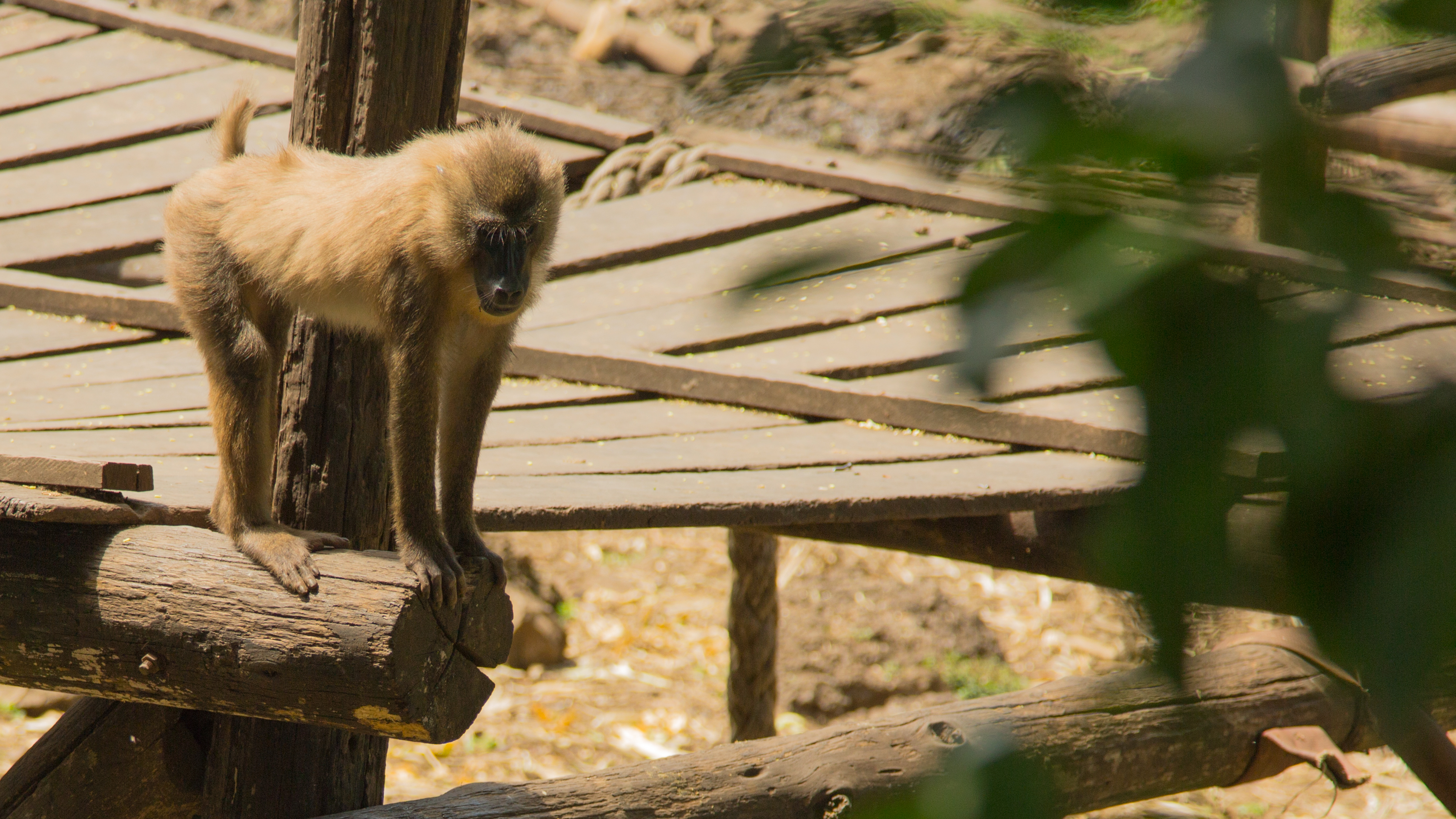 A file photo of a drill, a type of monkey in Cameroon threatened by the expansion of palm oil plantations. (Courtesy of Michael Dorgan)