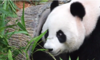World's Oldest Panda in Captivity, 38-Year-Old Jia Jia, Dies (Video)