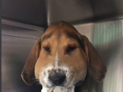 Dog Experiences Extremely Swollen Head After Snake Bite (Video)