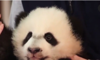 The National Zoo's Baby Panda Is Recovering From Surgery (Video)