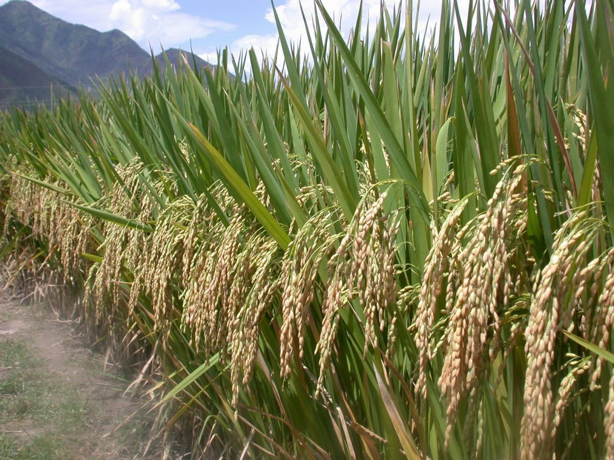 An SRI hybrid rice field