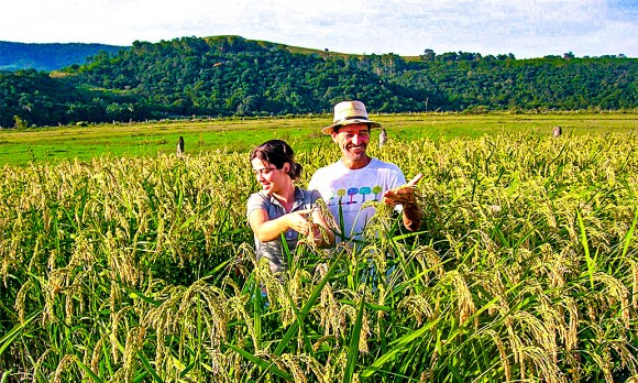 A farmer in his rice field, planted using the System of Rice Intensification (SRI) method, in Rio Grande do Sul State, Brazil, in July 2008. (Courtesy of Andre Goncalves)