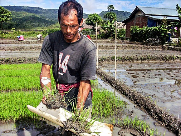 A farmer in a rice field in Manipur, India, in August 2013. (Courtesy of Mr. Tomba)