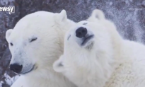 Polar Bear Population Faces Sharp Decline as Sea Ice Melts (Video)