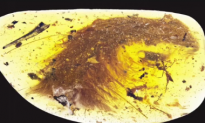 Researchers Find Feathered Tail of 99-Million-Year-Old Dinosaur Encased in Amber (Video)