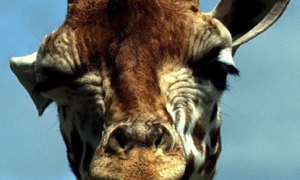 Giraffes Added to IUCN Red List of Threatened Species (Video)