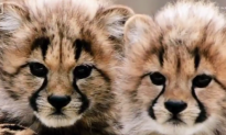 Cheetahs Are Dangerously Close to Becoming Extinct (Video)