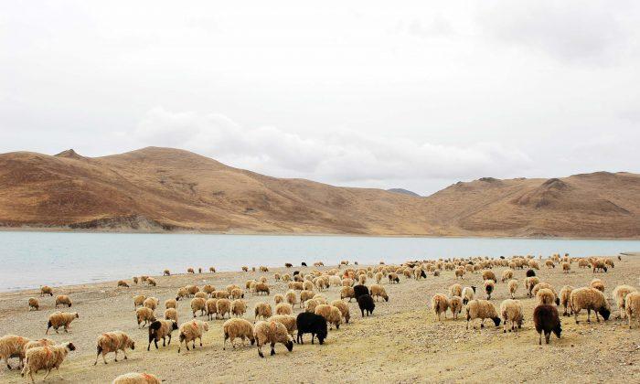 Landscape of sheep grazing near water in China. (Fotolia)