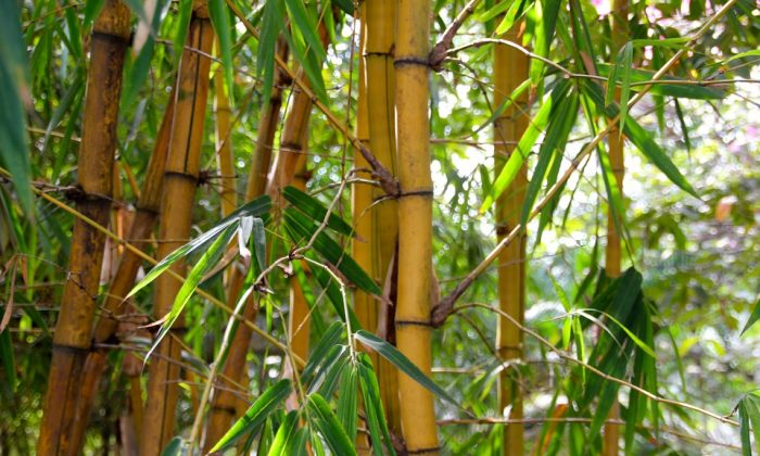 "The ancient Chinese people cherished their honor and reputation and placed a high importance on behaving in a moral manner, conducting themselves in a way that's ""as upright as bamboo."" (Pixabay)"