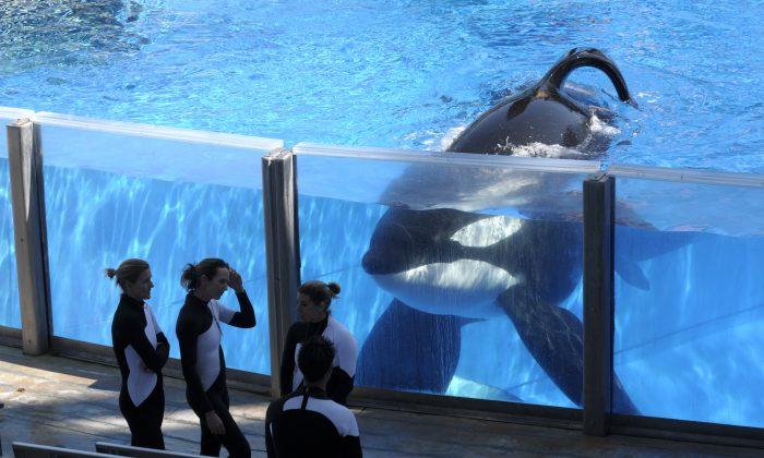 Orca whale Tilikum (R) watches as SeaWorld Orlando trainers take a break during a training session at the theme park's Shamu Stadium in Orlando, Fla. (AP Photo/Phelan M. Ebenhack)