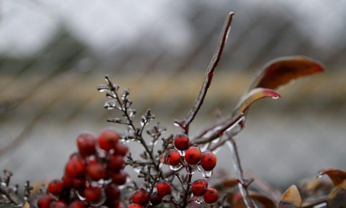 A small berry bush is covered with ice in a Tulsa neighborhood, on Jan. 14, 2017. (Jessie Wardarski/Tulsa World via AP)