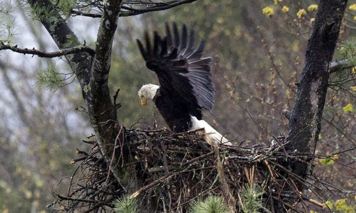 In this May 4, 2016 file photo, spring rain falls on an eagle stretching its wings while on the nest Hinsdale, N.H. Audubon Society bird counters found the number of bald eagles in 2015 were double the 1995 count. Some farmers and conservationists say the resurgence of the American bald eagle has come at a price. (AP Photo/Jim Cole, File)