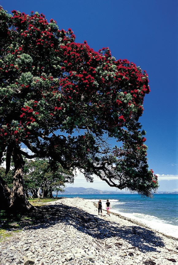 Pohutukawa trees can be seen everywhere along the Coromandel coastline. An evergreen from the Myrtle family, they produce a vibrant red flower which makes for a stunning photograph. (The Coromandel)