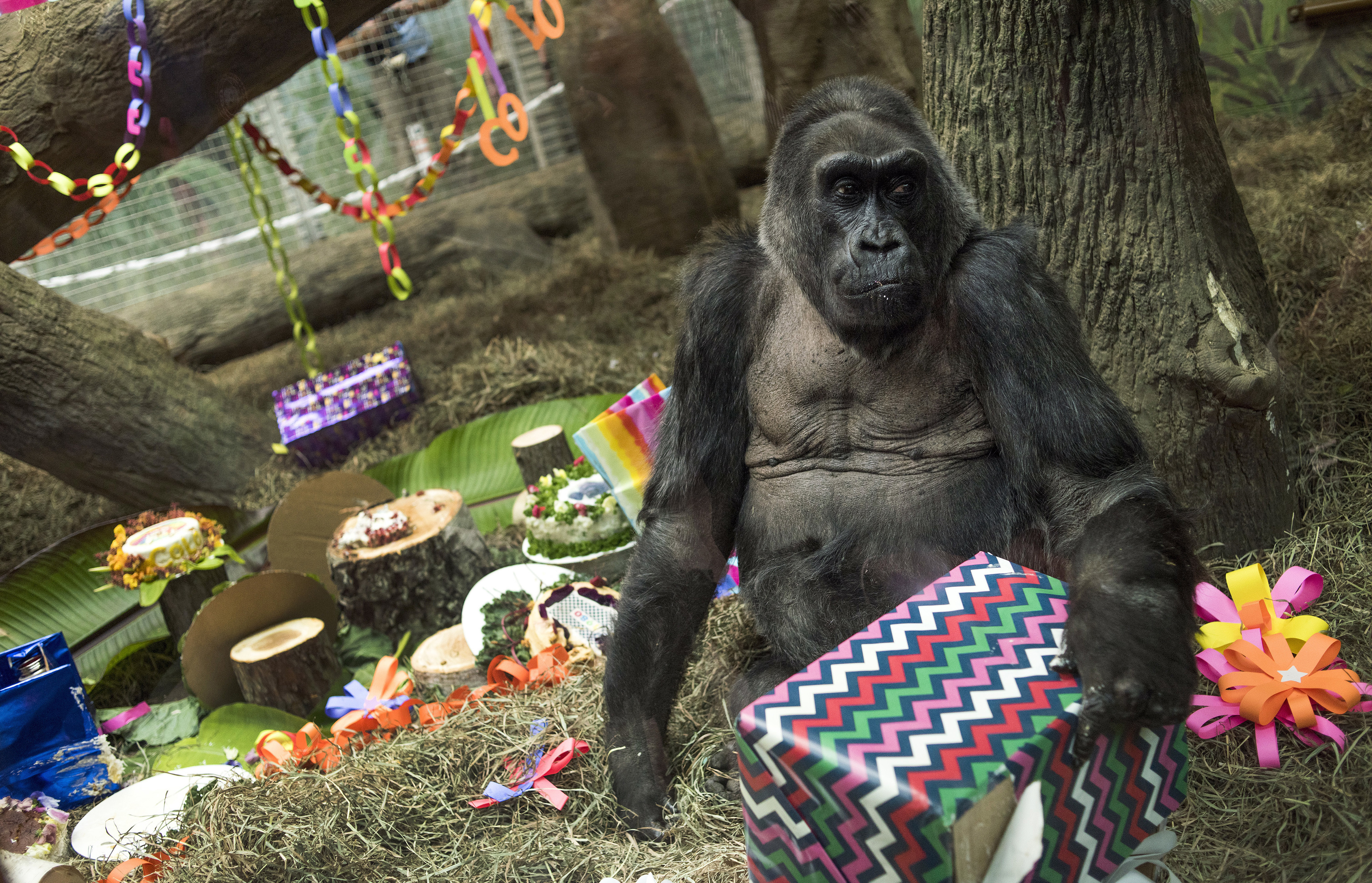 Colo, the world's first gorilla born in a zoo, opens a present in her enclosure during her 60th birthday party at the Columbus Zoo and Aquarium in Columbus, Ohio on Dec. 22, 2016. (AP Photo/Ty Wright)