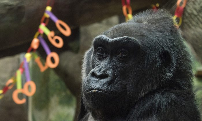 Colo, the world's first gorilla born in a zoo, sits inside her enclosure during her 60th birthday party at the Columbus Zoo and Aquarium in Columbus, Ohio on Dec. 22, 2016. (AP Photo/Ty Wright)