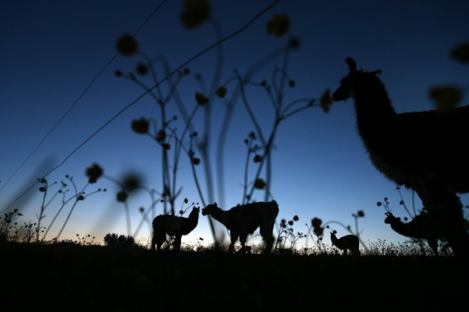 Lamas graze on the pasture of a farm near Kaufbeuren, southern Germany, on May 16, 2017. (KARL-JOSEF HILDENBRAND/AFP/Getty Images)