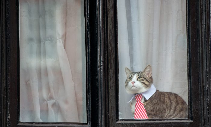 A cat wearing a striped tie and white collar looks out of the window of the Embassy of Ecuador as Swedish prosecutors question Wikileaks founder Julian Assange on Nov. 14, 2016 in London, England. (Chris J Ratcliffe/Getty Images)