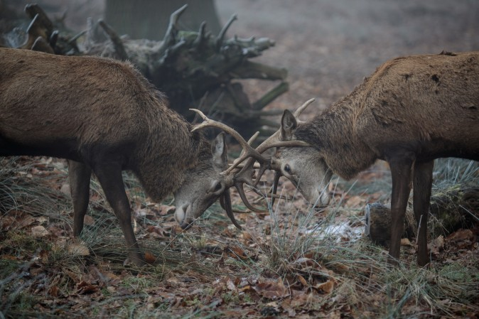 Red deer are rutting in the fog in Richmond Park in London on Jan. 23. Thick fog and temperatures below freezing have caused travel disruption today with hundreds of flights cancelled across London airports. (Jack Taylor/Getty Images)
