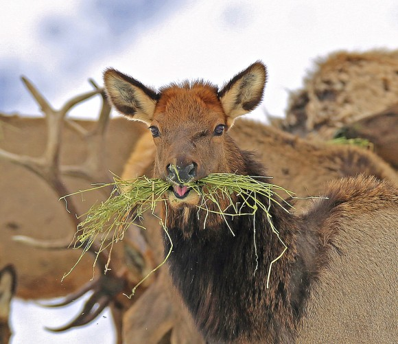 In this photo provided by the Oregon Department of Fish and Wildlife, elk feed at the Wenaha Wildlife Area near Troy, Ore., on Jan. 18, 2017. (Keith Kohl/ Oregon Department of Fish and Wildlife via AP)