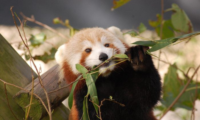 In this photo provided by the Virginia Zoo, Sunny, a Red Panda, appears in her habitat at the Virginia Zoo in Norfolk, Va., on Oct. 4, 2016. (Virginia Zoo via AP)