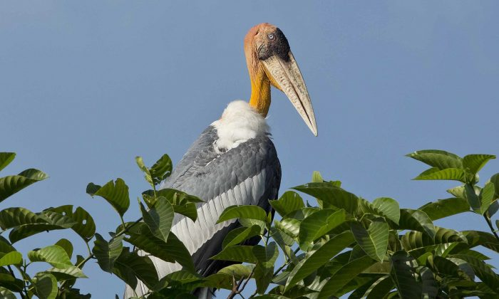 A Greater Adjutant Stork, an endangered bird with a total population of 1,200 in the world, sits on a tree at Dadara village, west of Gauhati, India, on this Oct. 3, 2016. (AP Photo/Anupam Nath)