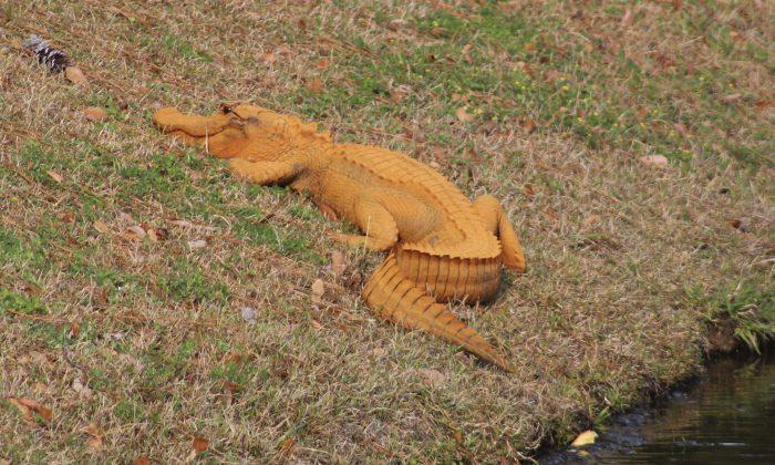 An orange alligator is seen near a pond in Hanahan, S.C. (Stephen Tatum via AP)