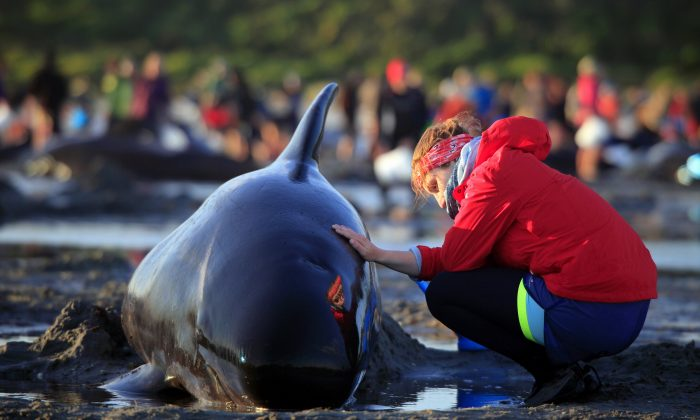 German visitor Lea Stubbe rubs water on a pilot whale that beached itself at the remote Farewell Spit on the tip of the South Island of New Zealand, on Feb. 10, 2017. (Tim Cuff/New Zealand Herald via AP)
