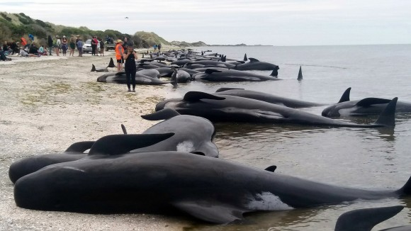 Whales are stranded at Farewell Spit near Nelson, New Zealand Friday, Feb. 10, 2017. (Tim Cuff/New Zealand Herald via AP)