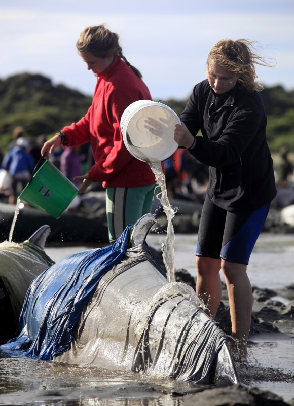 In this photo, volunteers pour water over beached whales at the remote Farewell Spit on the tip of the South Island of New Zealand, on Friday, Feb 10, 2017. (Tim Cuff/New Zealand Herald via AP)
