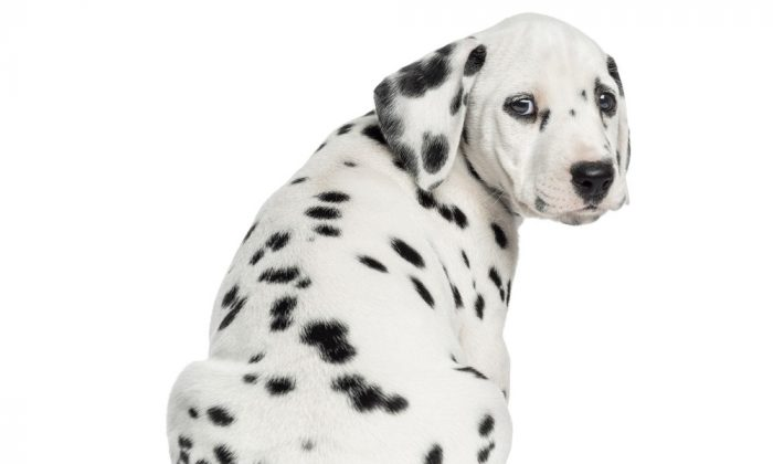 Rear view of a Dalmatian puppy sitting, looking at the camera isolated on white. (Eric Isselee/Shutterstock)