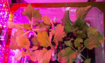 This Cabbage Was Harvested in Space (Video)