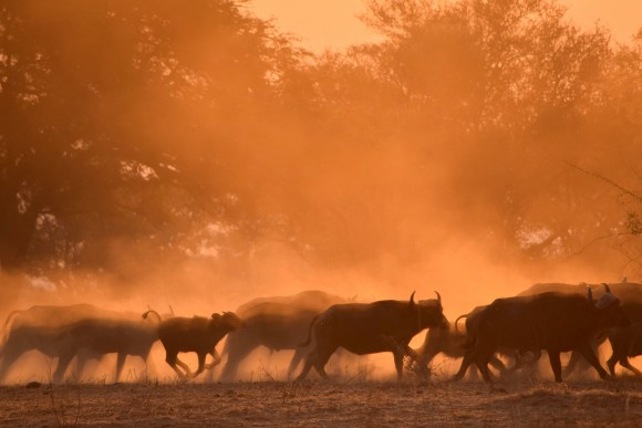 A herd of Cape buffalo kicking up a sepia-tinged dust storm. (Giannella M. Garrett)