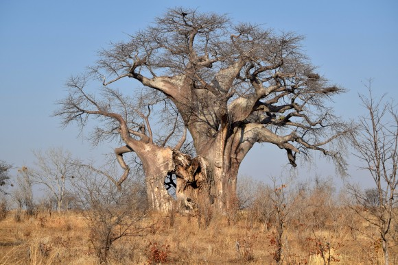 The prehistoric baobab tree, an icon of the African savannah, can grow up to 30 metres high and live for 5,000 years. (Giannella M. Garrett)