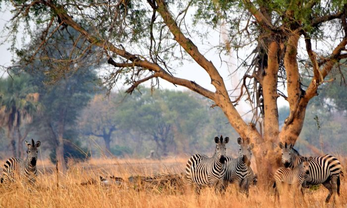 Zebras watch as the walking safari passes by. (Giannella M. Garrett)