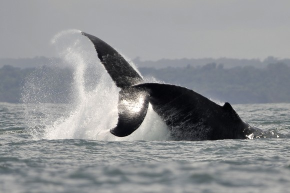 A Humpback whale jumps in the waters of the Pacific Ocean, in the Bahia Malaga Natural Park, Colombia, on Aug. 21, 2010. (LUIS ROBAYO/AFP/Getty Images)