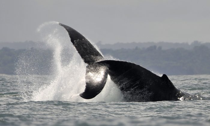A Humpback whale jumps in the waters of the Pacific Ocean in Colombia in a file photograph. (Luis Robayo/AFP/Getty Images)