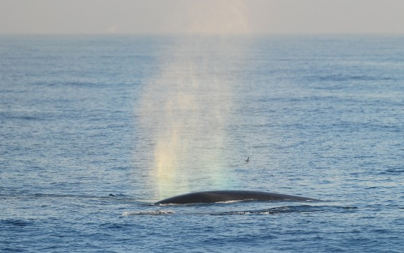 The Fin whale, which grows up to nearly 88 feet long weighing as much as 270,000 pounds, making it the second largest whale, is seen in the Pacific Ocean some six miles off the coast of Long Beach on Jan. 19, 2012 in California. (FREDERIC J. BROWN/AFP/Getty Images)