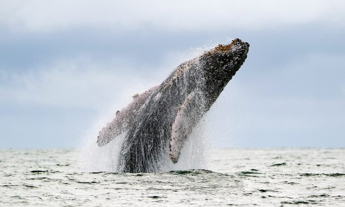 A Humpback whale jumps out of the surface of the Pacific Ocean at the Uramba Bahia Malaga natural park in Colombia, on July 16, 2013. Humpback whales migrate annually from the Antarctic Peninsula to the Colombian Pacific Ocean coast, with an approximate distance of 8,500 km, to give birth and nurse their young. (LUIS ROBAYO/AFP/Getty Images)