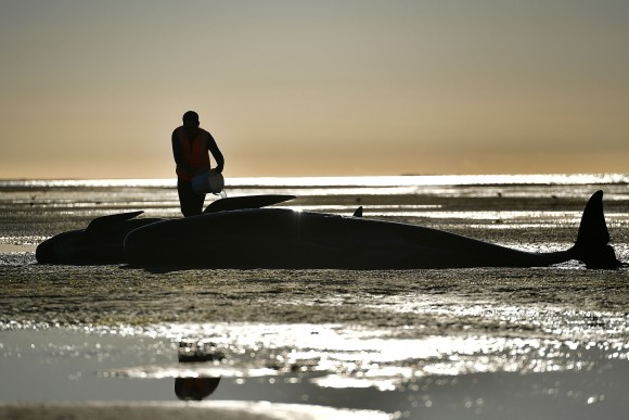A volunteer cares for a pilot whale during a mass stranding at Farewell Spit, New Zealand on Feb. 11. (MARTY MELVILLE/AFP/Getty Images)