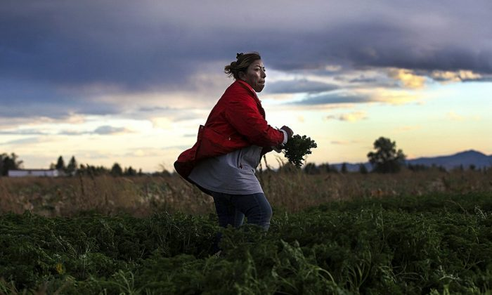 A Mexican immigrant worker harvests organic parsley at Grant Family Farms in Wellington, Colorado, on Oct. 11, 2011.  (John Moore/Getty Images)