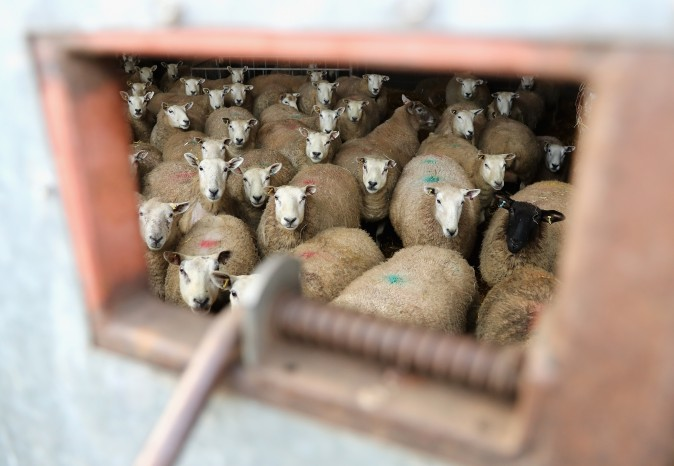 Sheep in the lambing pen on Gwndwnwal Farm during lambing season in Brecon, Wales, on March 2, 2017. Gwndwnwal Farm is a family run livestock farm expecting to lamb 600 ewes this season producing over 1000 young. (Chris Jackson/Getty Images)