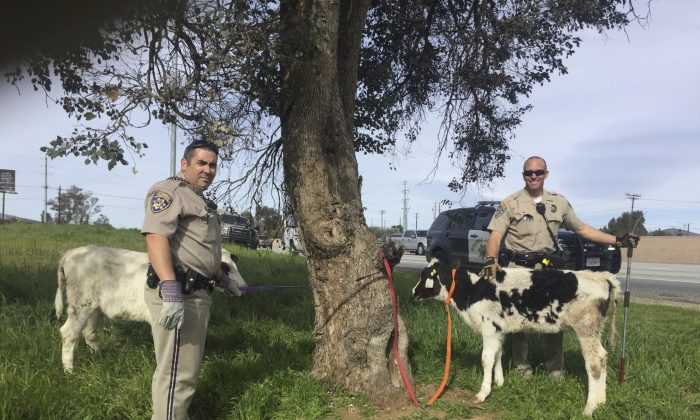 CHP Officers Scott Beauchene (L) and Aaron Pollya with cows they found a Honda Civic along the side of an interstate highway in Baumont, CA., on March 4, 2017. (CHP-San Gorgonio Pass via AP )