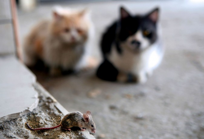 Two cats watch a mouse walking on the pavement in Kuwait City on March 8, 2017. (Yasser Al-Zayyat/AFP/Getty Images)