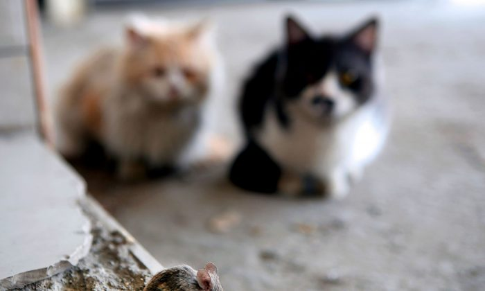 Stock photo of two cats. (Yasser Al-Zayyat/AFP/Getty Images)