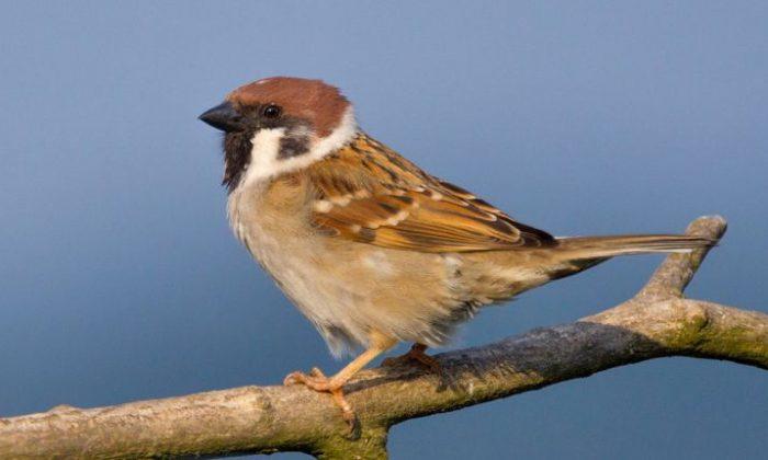 Eurasian tree sparrow (Public Domain)