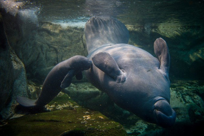 A baby manatee swims near his mother in the manatee tank of the Zoological park of Beauval in France on March 15. (GUILLAUME SOUVANT/AFP/Getty Images)